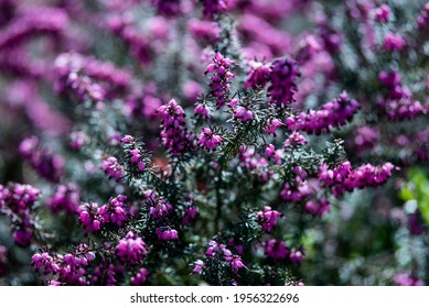 Wild Purple Fucshia Flowers Bokeh Background