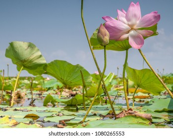 A wild, purple, lotus flower rises out of a lake in Tale Noi, southern Thailand