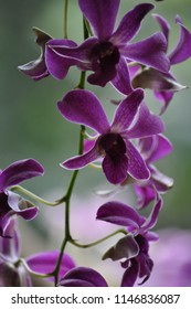 Wild purple orchid