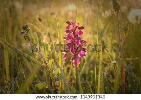 wild-purple-orchid-green-meadow-450w-104
