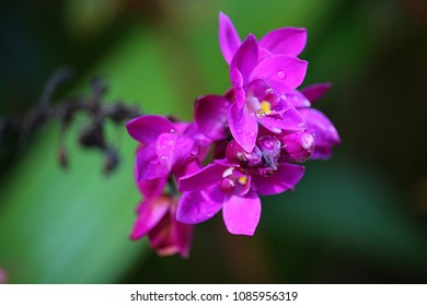 Wild purple orchid (Spathoglottis plicata) after rain with water drops