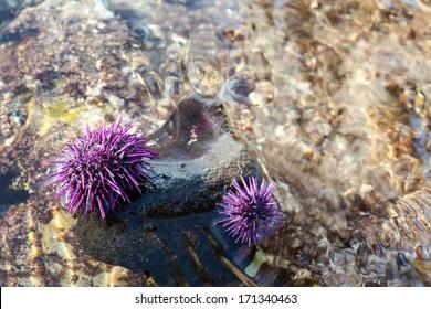 Wild Purple Sea Urchins Pair on Rock in Tide Pool