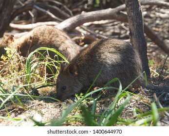 A wild Quokka on Rottnest Island