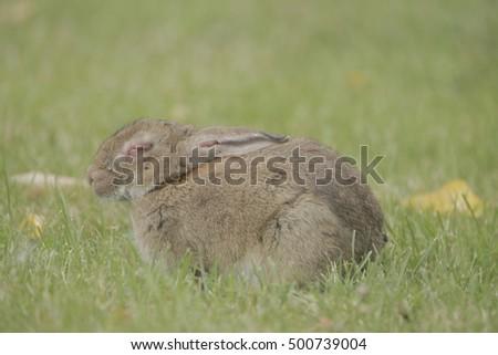 Wild Rabbit Disease Stock Photo (Edit Now) 500739004