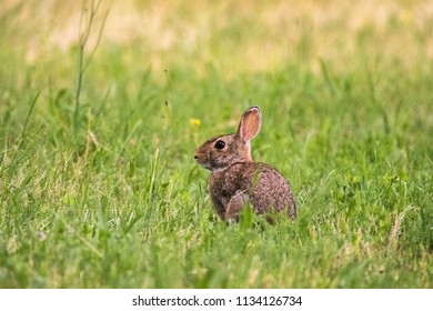 Wild rabbit in the field