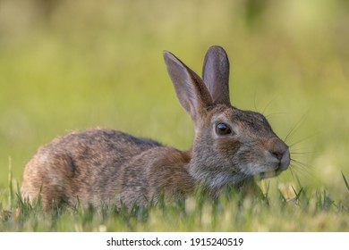 A wild rabbit in the grass of the lawn.