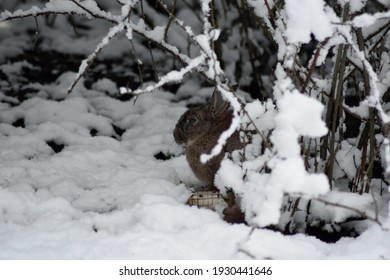 A wild rabbit hiding in the woods in the snow