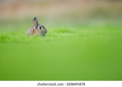 lapin sauvage dans un pré