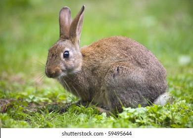 Conejo salvaje en la pradera