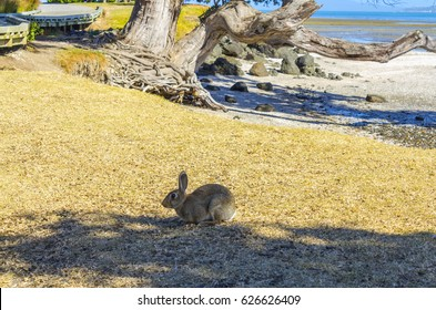 A Wild Rabbit at Omana Beach Auckland New Zealand