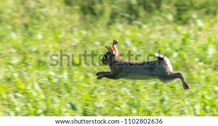 Wild rabbit on the run