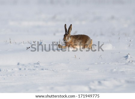 Wild Rabbit On Snow Stock Photo (Edit Now) 171949775