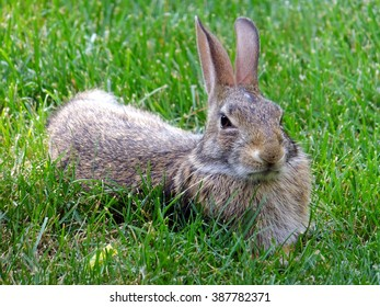 Wild rabbit relaxing in the grass keeping a skeptical eye on things