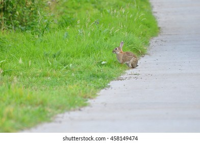 Wild rabbit sitting between the road and green grass.