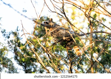 Wild raccoon climbing pine tree trunk, hiding behind, scared, foraging, looking for food, hanging in park outside, outdoors, looking for forage feed