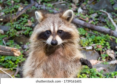 wild-raccoon-inside-forest-mountroyal-26