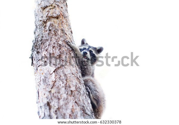 Wild raccoon on the pine on a white background, spring, summer day in the park, pet lotor, furry procyon, racoon sits high on a tree and looks into the distance, isolated on white