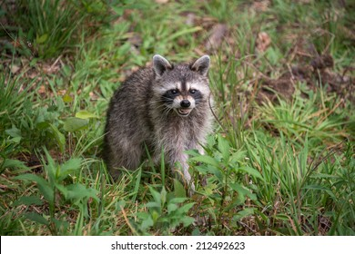 A wild raccoon (Procyon lotor) looks up at the camera with a snarl while it looks for food on the ground.
