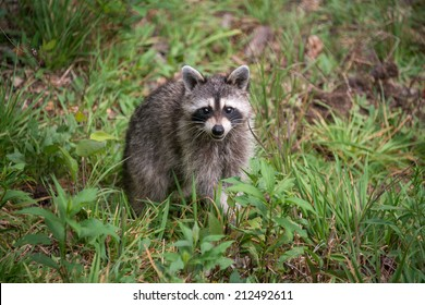A wild racoon (Procyon lotor) looks up at the camera while it looks for food on the ground.