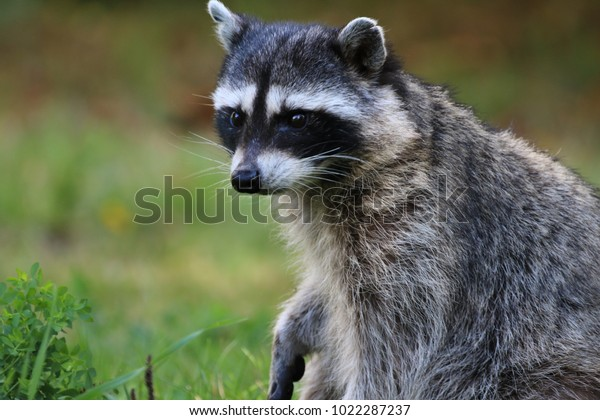 wild racoon in vancouver, canada