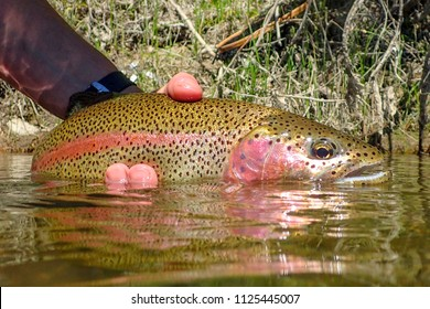 Wild rainbow trout caught and released on the Boise River, Idaho
