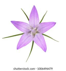 Wild rampion bellflower Flower (Campanula rapunculus) isolated on white