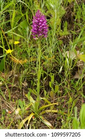 Wild and rare orchid hybrid Anacamptis x simorrensis. Hybrid between Pyramidal Orchid (Anacamptis pyramidalis) and Bug Orchid (Anacamptis coriophora). Full plant and inflorescence. Lisbon, Portugal.
