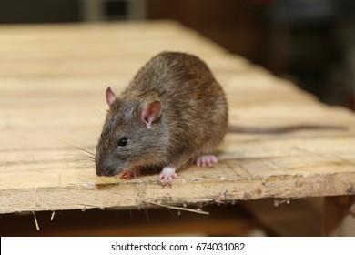 wild rat in the garage