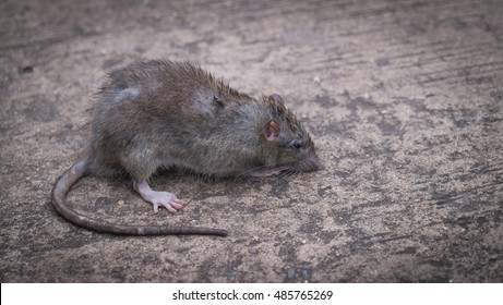 wild rat. gray rat. , dirty rat.