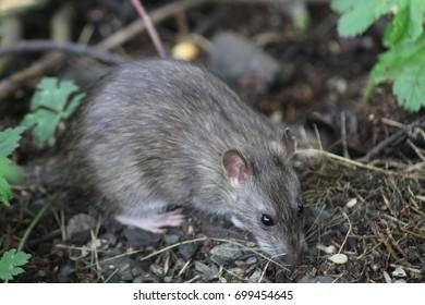 Wild rat - Norway rat