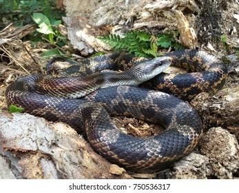 Wild rat snake