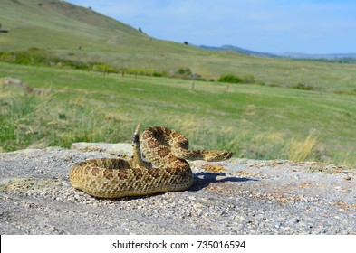 Wild rattlesnake