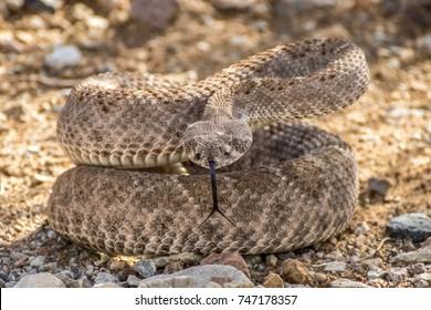 Wild Rattlesnake Coiled Up in Striking Defensive Position in Arizona Desert