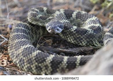 wild rattlesnake seen in smith rock state park, oregon