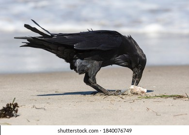 A wild raven with a caught fish on Santa Rosa Island in Channel Islands National Park (California).