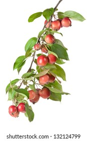 Wild red apples on a branch. Isolated on a white.