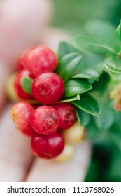 Wild red berries (cowberry, foxberry, lingonberry) with leaves closeup. Raw, organic materials fro skincare
