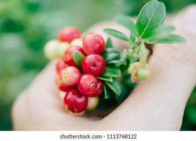 Wild red berries (cowberry, foxberry, lingonberry) with leaves. Raw, organic materials fro skincare