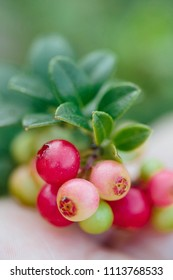 Wild red berries (cowberry, foxberry, lingonberry) with leaves