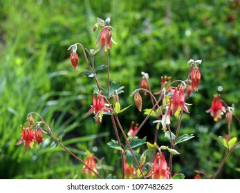 Wild (red) columbine flowers on a prairie. Many visible.