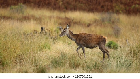 Wild Red Deer Hind in prime condition during the rutting season in October.