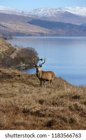 Wild Red Deer Stag at Loch Arkaig in Lochaber with blurred snow capped hills in the background.