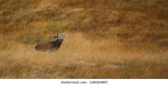Wild Red Deer Stag roaring during the rutting season on the Autumn coloured moor in the Scottish Highlands.