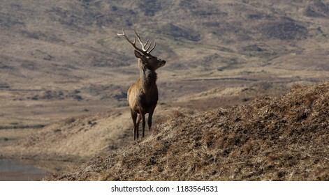 Wild Red Deer Stag  in the Scottish Highlands.