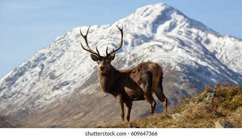 Wild Red Deer Stag with snow capped mountain at the head of Loch Arkaig in the Scottish Highlands.