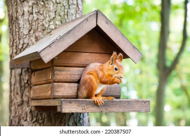 Wild red european squirrel eats in his house