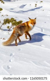 Wild red fox in alpine environment, on a bright day, in winter