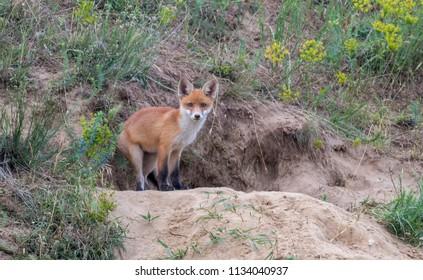 Wild red fox cub