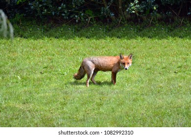 wild red fox in england during spring time