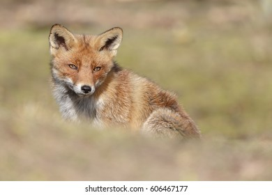 Wild Red Fox in nature during a sunny day